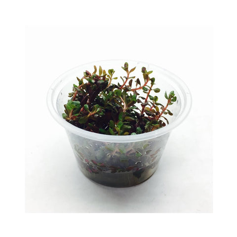 Rotala Colorata Tissue Culture 5cm pot