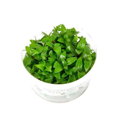 Staurogyne repens Tissue Culture 5cm pot - Nature Aquariums