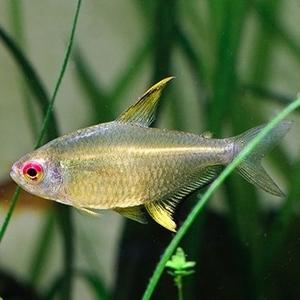 Lemon Tetra - Nature Aquariums