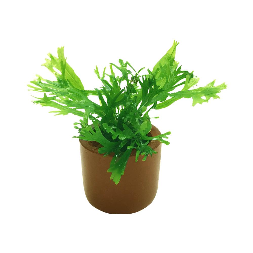 Crested Java Fern - Nature Aquariums