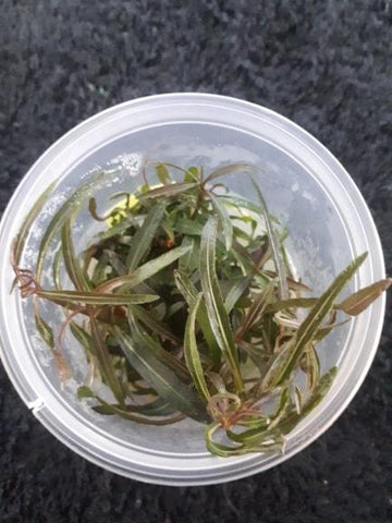 Hygrophila Angustifolia Tissue Culture 5cm pot