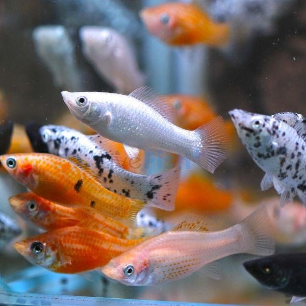 Assorted Molly 5 cm - Nature Aquariums