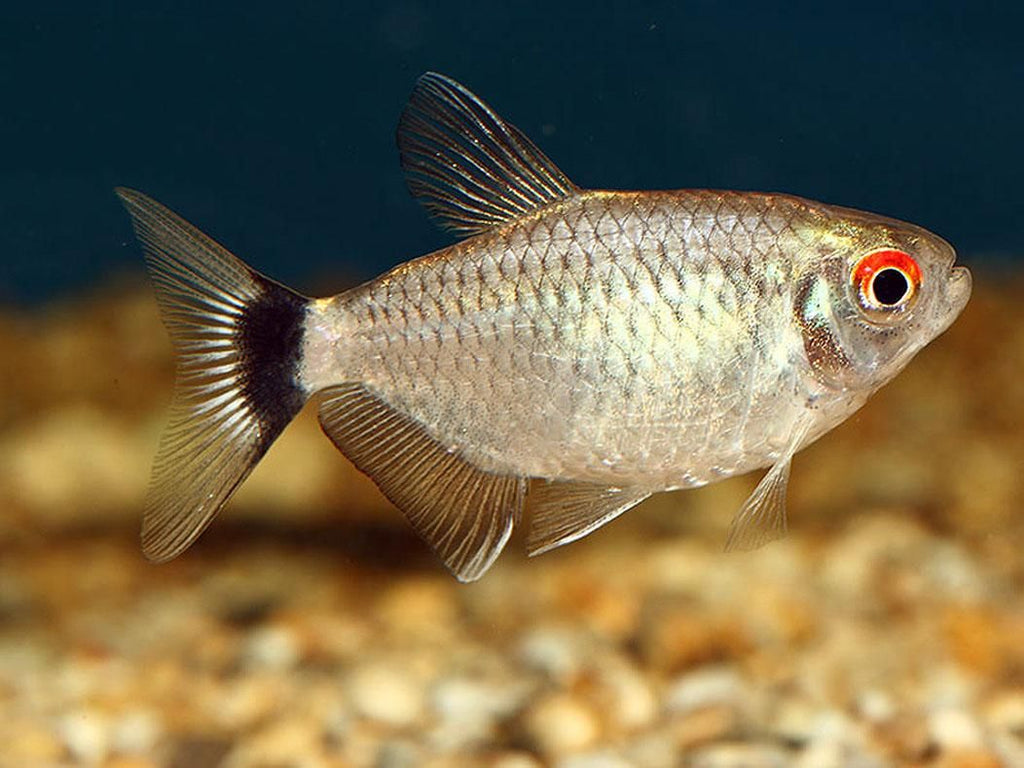 Red Eye Tetra 3.5 cm - Nature Aquariums