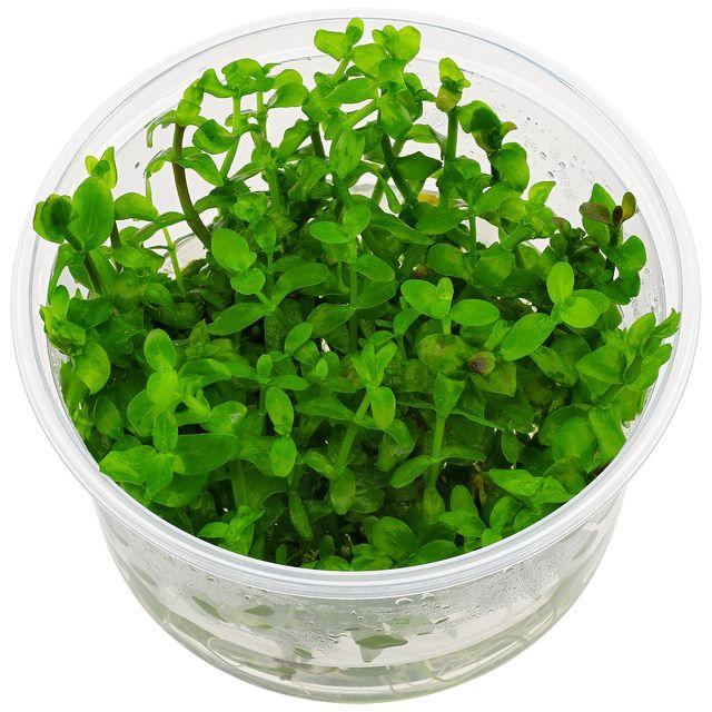 Bacopa caroliniana Lime Bacopa Tissue Culture 5cm pot - Nature Aquariums