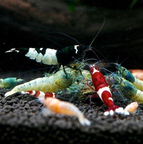 Bee Shrimp - Nature Aquariums