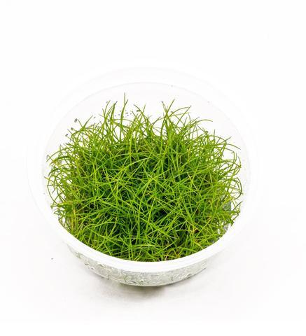 Dwarf Belem Hairgrass Tissue Culture 5cm pot