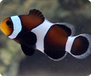 Black & White Ocellaris Clownfish, Captive-Bred - Nature Aquariums