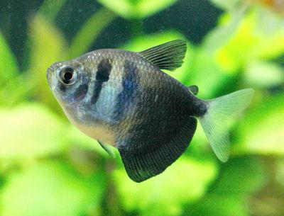 Black Widow Tetra  3.5 cm - Nature Aquariums
