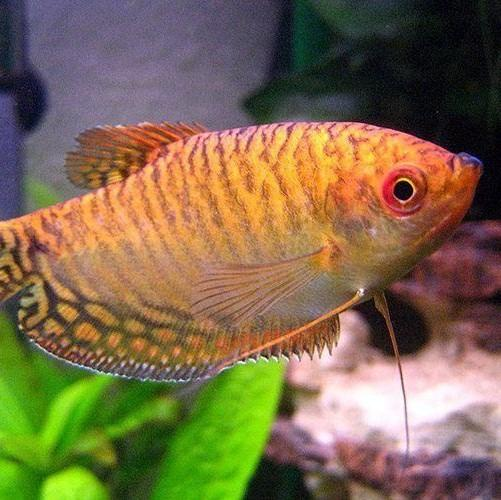 Gold Gourami 5 cm - Nature Aquariums