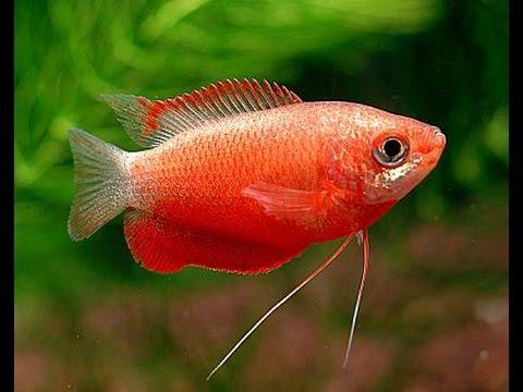 Red Honey Gourami 4-5 cm - Nature Aquariums