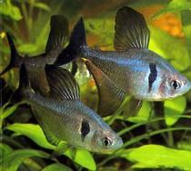Black Phantom Tetra 2.5 cm - Nature Aquariums