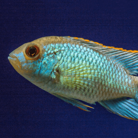 Neon Blue Acara - Nature Aquariums