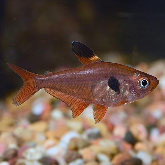 Red Phantom Tetra 3 cm - Nature Aquariums