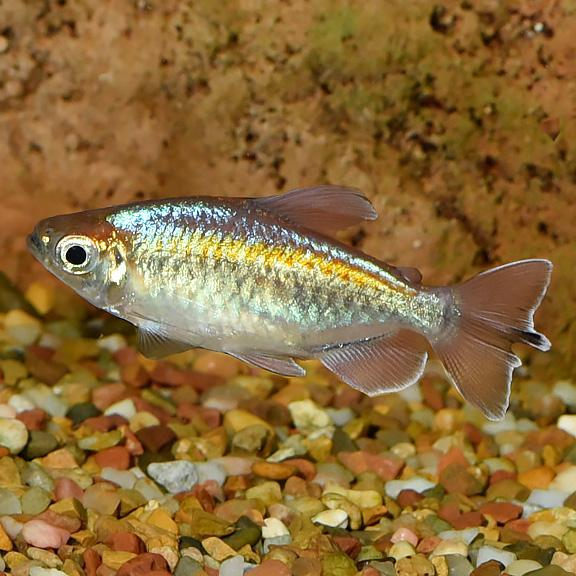 Congo Tetra  3.5 cm - Nature Aquariums