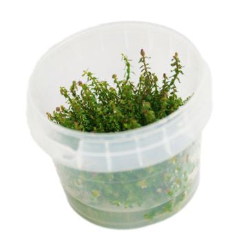 Rotala macranda Pearl Tissue Culture 5cm pot - Nature Aquariums