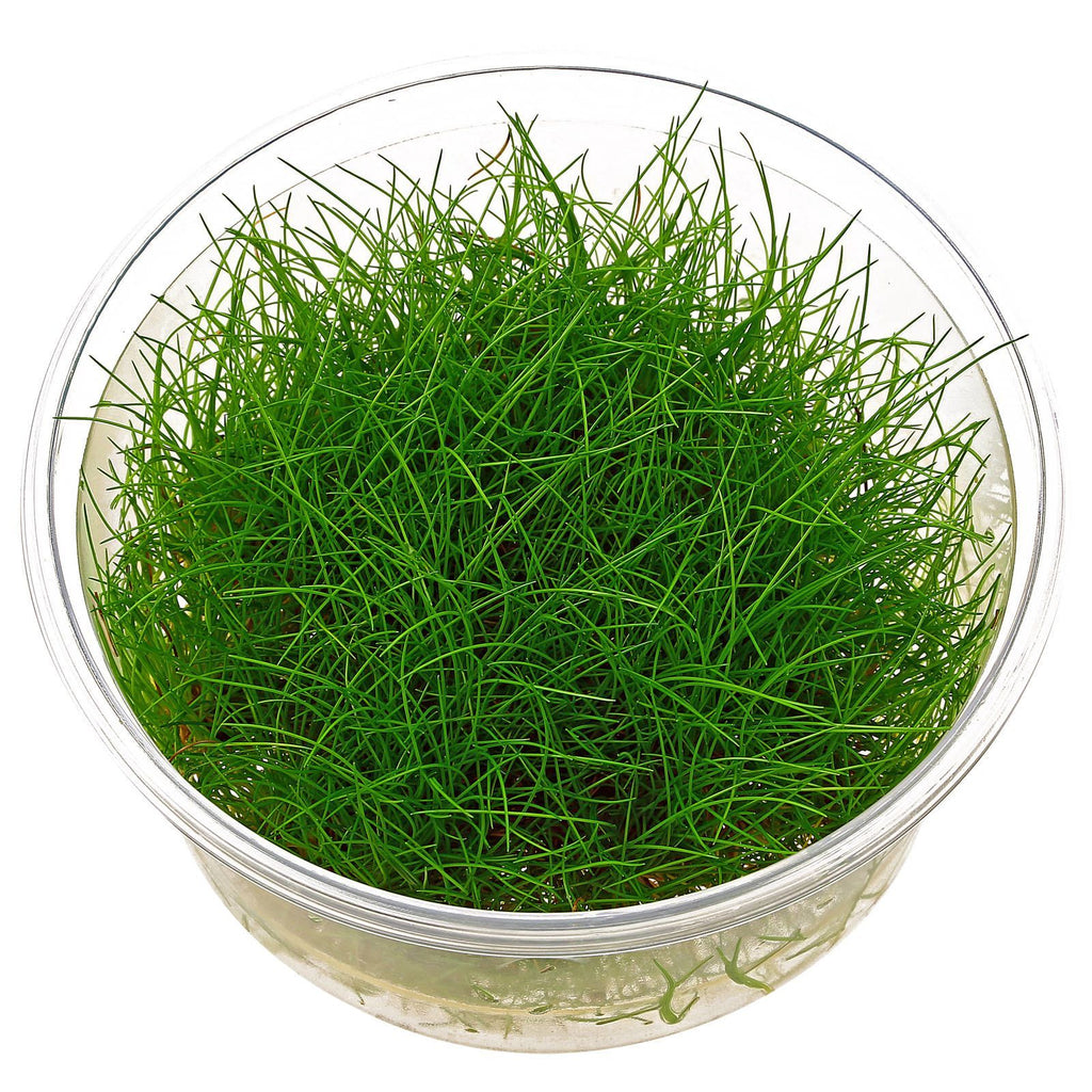 Dwarf Mini Hairgrass Eleocharis acicularis Tissue Culture 5cm pot - Nature Aquariums
