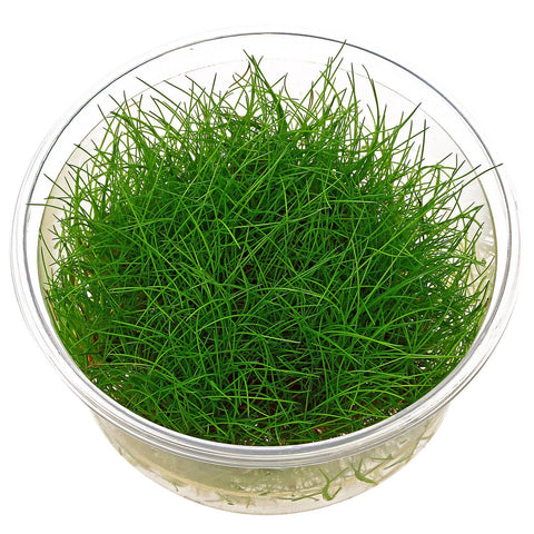 Dwarf Mini Hairgrass Eleocharis acicularis Tissue Culture 5cm pot