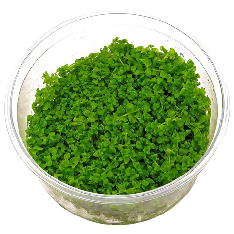 Monte Carlo Green Tissue Culture 5cm pot