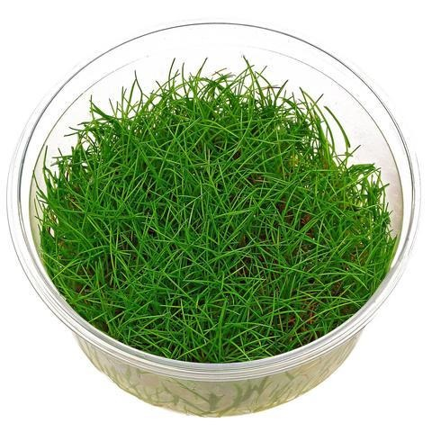 Eleocharis parvula Tissue Culture 5cm pot - Nature Aquariums