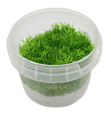 Riccia Tissue Culture 5cm pot
