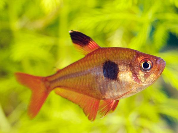 Rosy Tetra 3.5 cm - Nature Aquariums