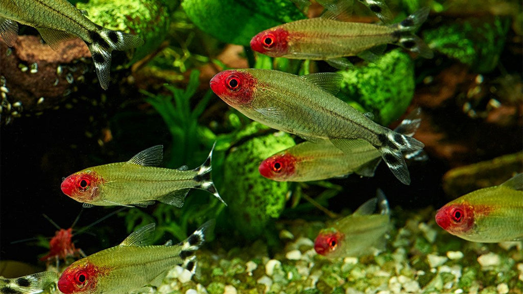 Rummynose Tetra 3.0-3.5 cm - Nature Aquariums