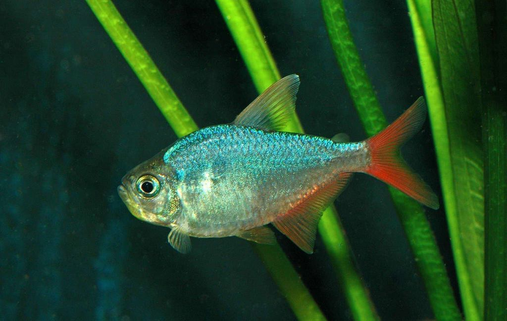 Red Blue Columbian Tetra 3 cm - Nature Aquariums