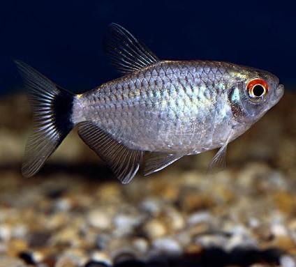 Balloon Red Eye Tetra - Nature Aquariums