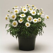 Afbeelding in Gallery-weergave laden, Argyranthemum frutescens