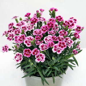 Anjers - Dianthus