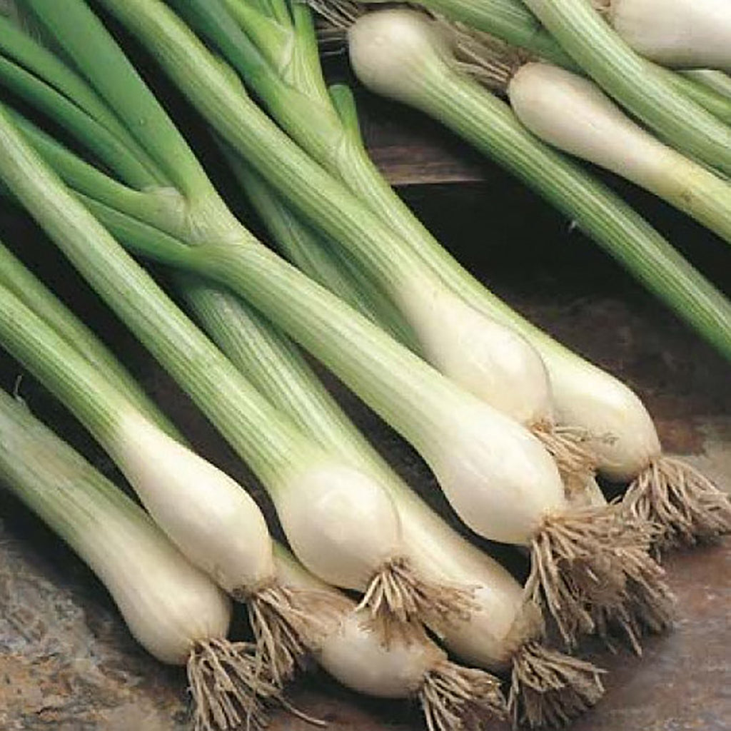 Yard Seed Spring Onion - White Lisbon