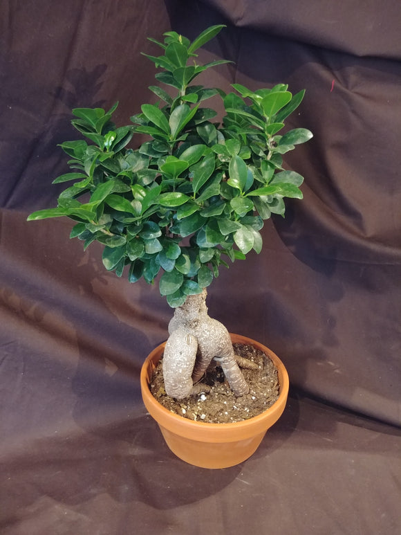 Bonsai Fig Ficus