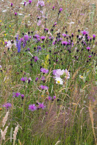 Special Meadow Mixture Wildflower Seed