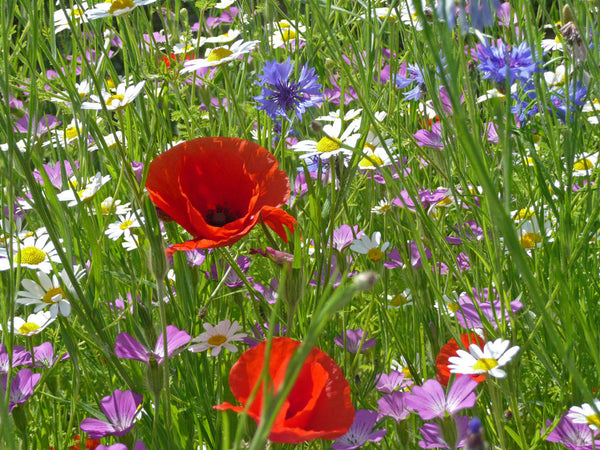 Cornfield Annuals Meadow Mixture Seed