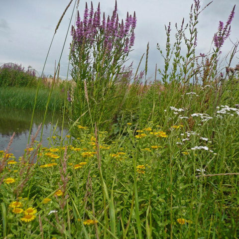 Pond Edge Wildflower Meadow Seeds