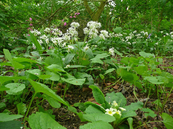 Woodland Wildflowers