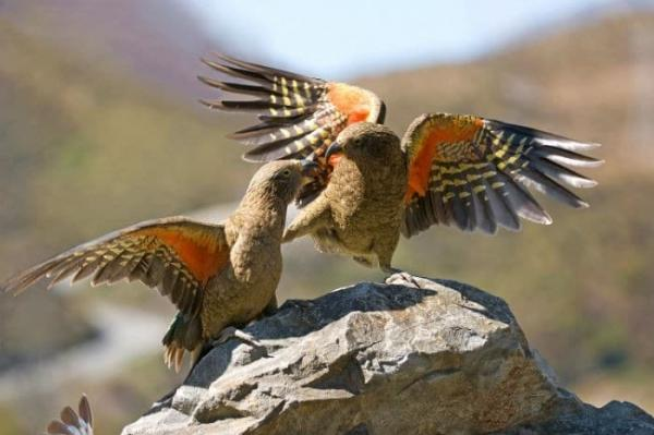 Battling to Save our Charismatic Kea - Chillout