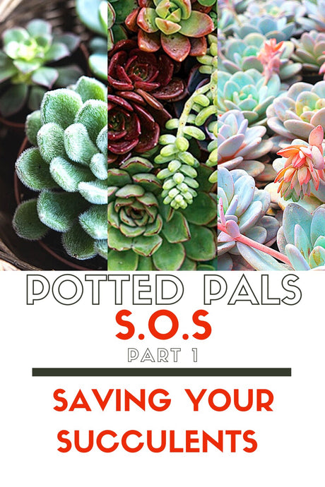 S.O.S Part 1: Saving your Succulents