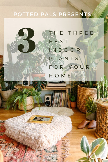 The Three Best Indoor Plants for Your Home
