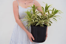 Load image into Gallery viewer, Song of India - Dracaena Reflexa - pottedpals.com