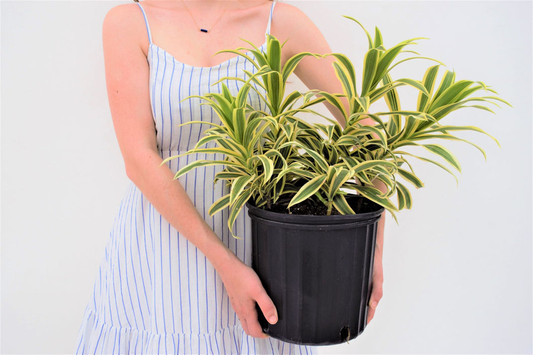Song of India - Dracaena Reflexa - pottedpals.com