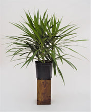 "Load image into Gallery viewer, Potted Pals™ Exclusive Dracaena ""Tarzan"" - King of the Marginatas - pottedpals.com"