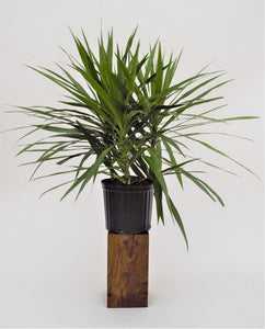 "Potted Pals™ Exclusive Dracaena ""Tarzan"" - King of the Marginatas - pottedpals.com"