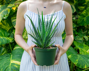 Hedgehog Aloe- Doubles as Skincare! - pottedpals.com