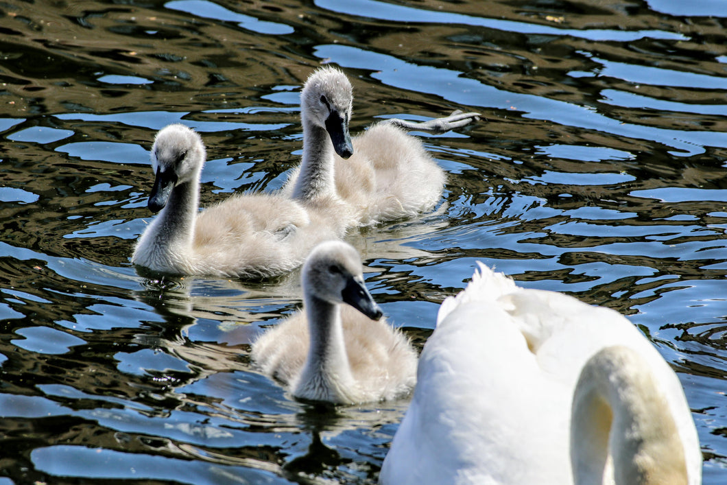 Swan and Cygnets  - Fine Art Print