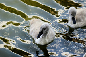 Swan and Cygnets 2 - Fine Art Print