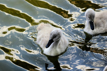 Load image into Gallery viewer, Cygnets - Wall Art