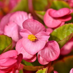 Bedding Plants - 6 inch