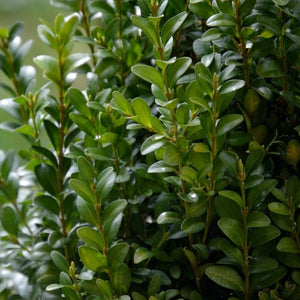Boxwood - 3 gallon