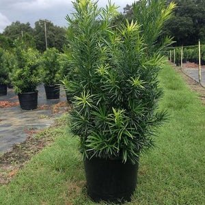 Japanese Yew - 3 gallon